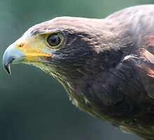 The Steppe Eagle, Aquila nipalensis by DutchLumix