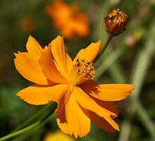 Cosmos by JohnDSmith