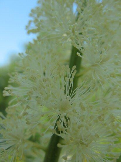 Bottle Brush White Flower by MarianBendeth