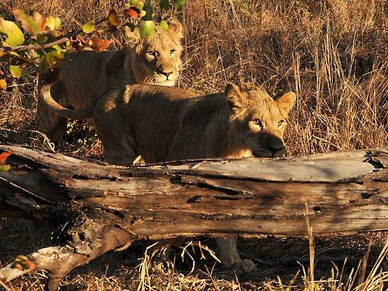 Walking With lions - Victoria Falls, Zimbabwe. by Sharon Bishop