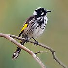 New Holland Honeyeater taken at Victor Harbour in South Australia by Alwyn Simple