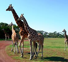 Stately giraffes at Werribee Zoo by Janette Anderson