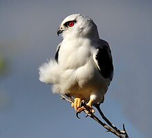 Black Shouldered Kite taken at Condobolin in NSW. by Alwyn Simple