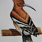 Hoopoe (Upupa epops) by RCTrotman