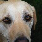 A Yellow Lab: III (Close Up) by Rachel Counts