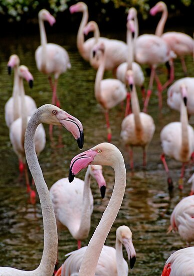 A stand of Greater pink Flamingoes by buttonpresser