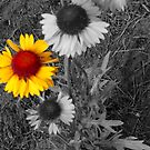 Brown Eyed Susans,selective color by MaeBelle