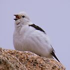The Cairngorms: Snow Bunting by Rob Parsons