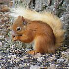 The Cairngorms: Red Squirell by Rob Parsons