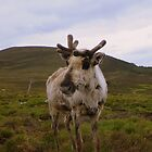 The Cairngorms: Reindeer by Rob Parsons