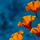 California Poppy by Phillip M. Burrow