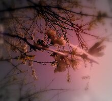 cherry blossoms in the sun, red tint by Dawna Morton