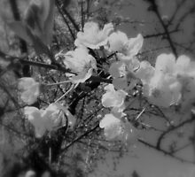 cherry blossoms in the sky, black and white by Dawna Morton