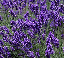 Lavender on a Windy Day by AnnDixon