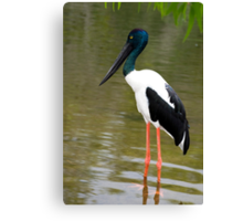 Jabiru - black necked stork Canvas Print