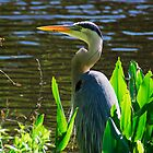 Great Blue Heron at lake Beauclair by michaelBstone