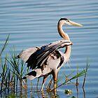 Great Blue Heron by michaelBstone