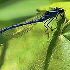Blue Damsel Dragonfly by T.J. Martin