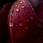 Tulip And Dew by AlGrover