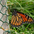 Butterfly on a fence by AlGrover