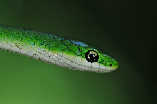 Rough Green Snake by Dennis Stewart
