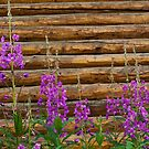 Fireweed by Sally Winter