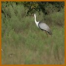 Wattled crane in the bush by Yves Roumazeilles