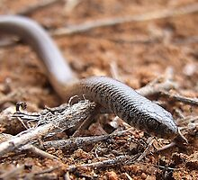 Marble-headed Snake-lizard by EnviroKey