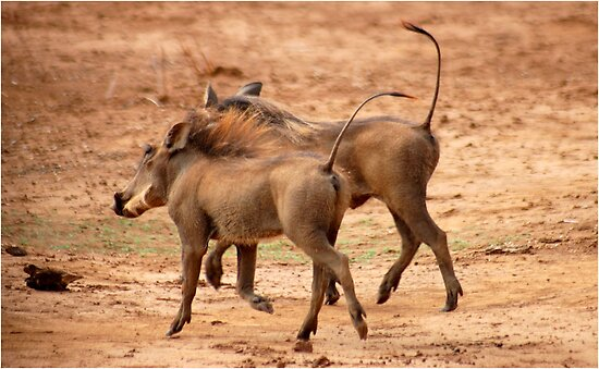THE WARTHOG and  Elegant jogging ! by Magaret Meintjes