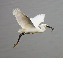 Snowy Egret in Flight with his Catch by Paulette1021