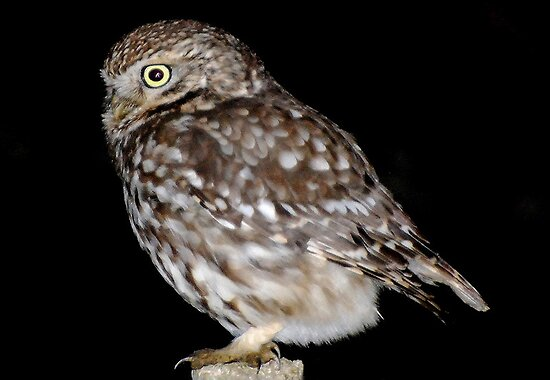 Little Owl by nickyv33