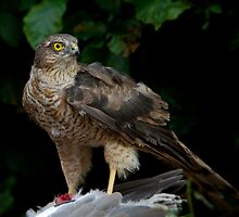 Sparrowhawk With Kill by Neil Bygrave (NATURELENS)