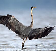 Blue On Blue Wingspan / Great Blue Heron by Gary Fairhead