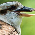 Kookaburra by Ben Porter