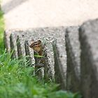 Peek-a-boo Chipmunk by Ryan Conners