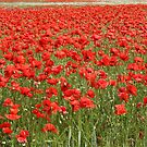 Poppies (Denmark) by Trine