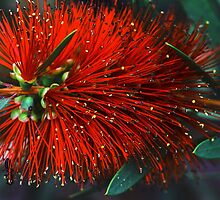 Callistemon citrinus by andrachne