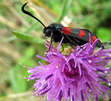 Burnet Moth by Caroline Anderson