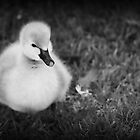 Cute Cygnet by Ann Barnes
