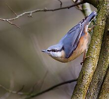 Nuthatch by 135mmf2