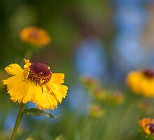 Helenium Sunshine by Sarah-fiona Helme