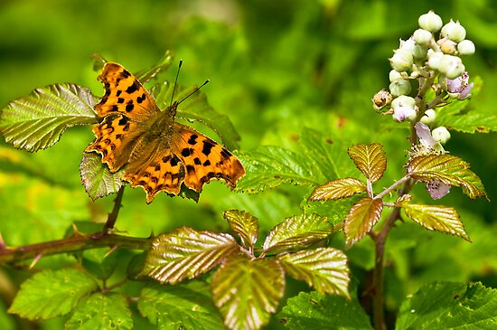 Comma (Polygonia c-album)  by Steve  Liptrot