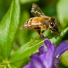 Honey Bee by carlosramos