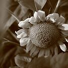 Sunflowers by Michael Kelly