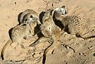 An arrangement of meerkats by Anthony Brewer