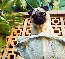 Pug In a Birdbath by Katie Weychardt
