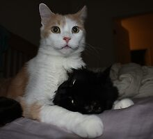 white cat licking black cat by bhavindalal