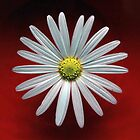 Daisy on red by David Gray