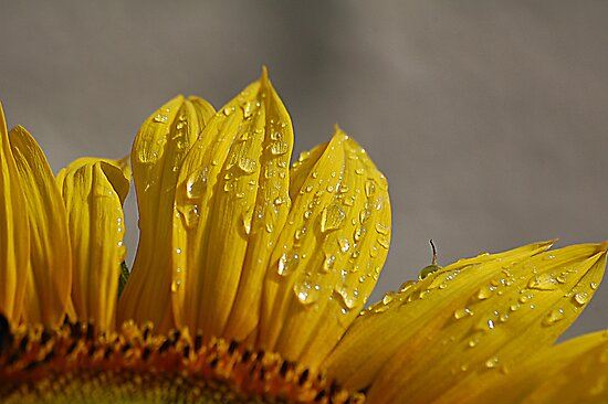 my Sunflower by Declan Carr