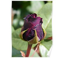 Rose Bud ... Dark Red Poster